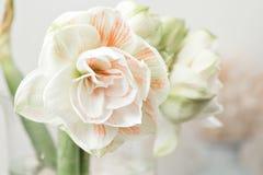 Цветки в большой стеклянной вазе Красивые цветения цветка амарулиса Полевые цветки - Hippeastrum сбор винограда бумаги орнамента  Стоковые Фотографии RF