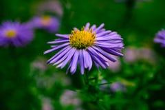 Цветки в осени, малые фиолетовые фото макроса маргаритки Стоковое Изображение