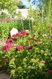 Цветки в саде Турецкие цветки пинка гвоздики стоковые фото