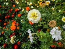 Цветки в саде цветок zinnia, Zinnia Elegans, цветки Tagetes в саде стоковое изображение rf