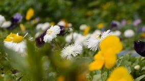 Цветки в саде Pansy и маргаритка видеоматериал