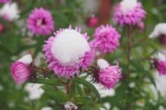 Цветки в снежке стоковая фотография rf
