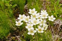 Цветки в тундре Стоковое Изображение