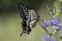 Цветки влюбленности бабочки Стоковая Фотография