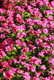 Цветки в flowerbed Стоковое фото RF
