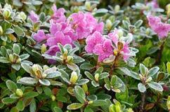 Цветки в hoarfrost стоковые изображения