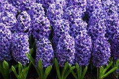 Цветки в Keukenhof Стоковые Фото