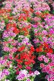 цветки гвоздики Стоковые Изображения RF