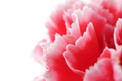 Цветки гвоздики закрывают вверх на предпосылке Стоковое Изображение