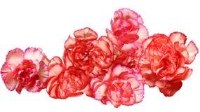 Цветки гвоздики Стоковая Фотография RF