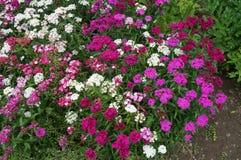 Цветки гвоздики Стоковые Фотографии RF