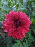 Цветки георгина стоковое изображение rf