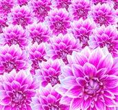 цветки георгина Стоковое Фото