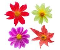 Цветки георгина Стоковое Изображение