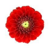 Цветки георгина!!! Стоковое Фото