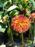 Цветки георгина Стоковые Изображения