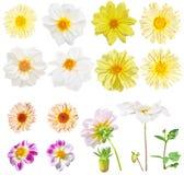 Цветки георгина Georgina и желтые цветки маргаритки Комплект белых и желтых цветков сада изолированных на белой предпосылке Стоковая Фотография