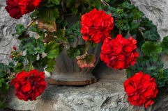 Цветки гераниума в винтажном баке Красный цвет Стоковое Изображение RF