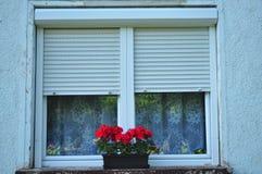Цветки гераниума на окне Стоковые Изображения RF