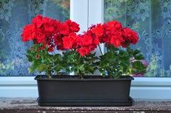 Цветки гераниума на окне Стоковые Фото