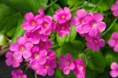 Цветки гераниума Стоковое фото RF