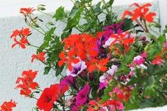 Цветки гераниума Стоковые Фото