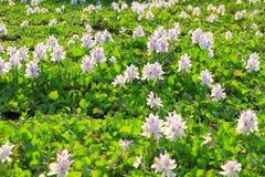 Цветки гиацинта воды Стоковые Фото