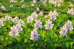 Цветки гиацинта воды Стоковое Изображение RF