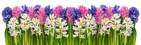Цветки гиацинта Розовый, голубой, белый знамя может различные флористические используемые цели иллюстрации Стоковое Изображение