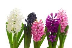 Цветки гиацинта Стоковые Фото