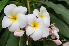 Цветки гибискуса белые стоковые изображения rf