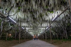 Цветки глицинии весной стоковая фотография