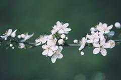 Цветки года сбора винограда сливы стоковая фотография