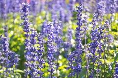 цветки голубого salvia травяные стоковое фото rf