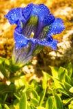 Цветки горечавки с восхитительными комфортами душа Стоковое Фото