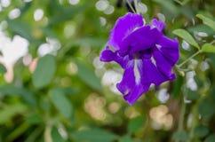 Цветки гороха бабочки в саде Стоковое Изображение RF