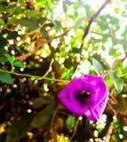 Цветки гороха Стоковые Фото