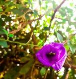 Цветки гороха Стоковые Изображения