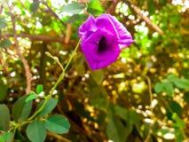 Цветки гороха Стоковое Изображение RF