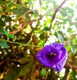 Цветки гороха Стоковые Изображения RF