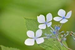 Цветки гортензии в естественной предпосылке Стоковые Фото