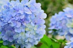 Цветки гортензии в естественной предпосылке Стоковое Фото