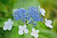 Цветки гортензии в естественной предпосылке Стоковые Изображения RF