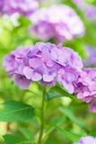 Цветки гортензии в парке Showa мемориальном, токио, Японии Стоковое Изображение RF