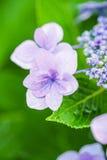 Цветки гортензии в парке Showa мемориальном, токио, Японии Стоковые Изображения