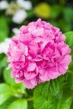 Цветки гортензии в парке Showa мемориальном, токио, Японии Стоковое Изображение