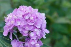 Цветки гортензии в стиле нежности и нерезкости - изображении запаса Стоковые Изображения