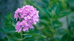 Цветки гортензии в стиле нежности и нерезкости - изображении запаса Стоковые Фото