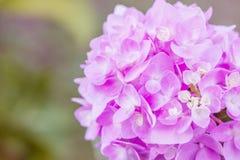 Цветки гортензии в стиле нежности и нерезкости - изображении запаса Стоковая Фотография RF