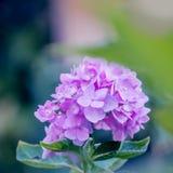 Цветки гортензии в стиле нежности и нерезкости - изображении запаса Стоковое Изображение